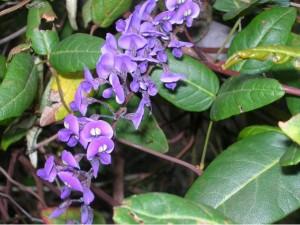 National Botanic Garden Wales -flowering Australian shrub - March 2018